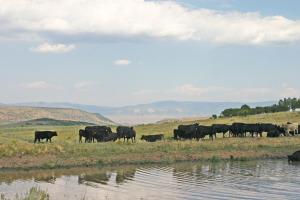 A Cows at Grady Pasture