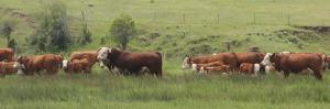 217Z & Cows