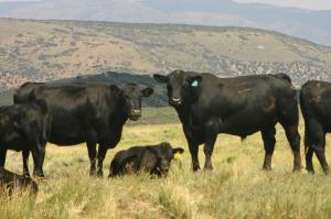SBA 605S & cows